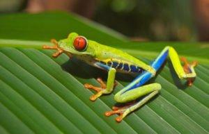 bunter Frosch mit roten Augen