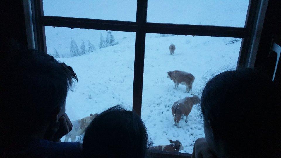 Kühe im Schnee vor dem Hochweißsteinhaus